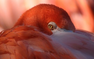 фламинго, птица, оперенье