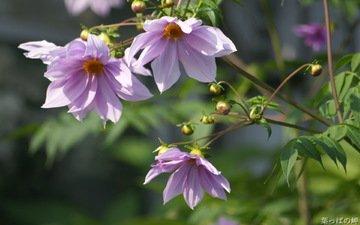 цветы, бутоны, лепестки, стебли, георгины