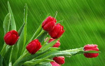 капли, дождь, тюльпаны