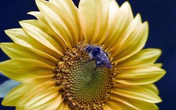 подсолнух, пчела