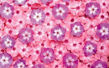 цветы, розовые, яркие, сиреневые, флоксы