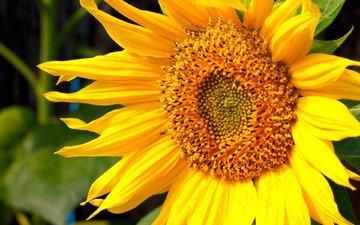 цветок, подсолнух