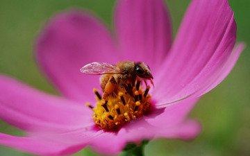 бутон, пчела, нектар