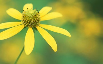 цветок, лепестки
