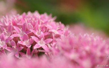 цветы, розовые, соцветие, пентас