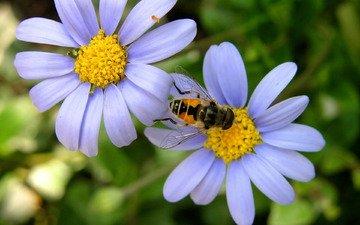 ромашка, пчела