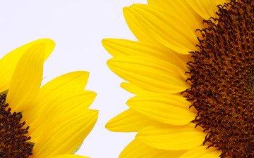 цветы, солнце, лето, лепестки, подсолнух, подсолнухи, крупным планом