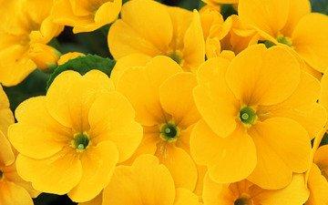 цветы, макро, лето, лепестки, желтые, примула