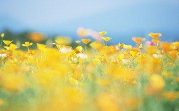 цветы, солнце, природа, лето, размытость, луг, желтые