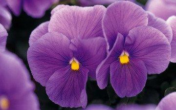 цветы, фиолетовые, фиалки