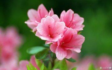 цветы, розовые, азалия