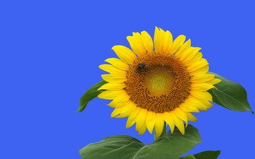 небо, природа, листья, цветок, лето, подсолнух