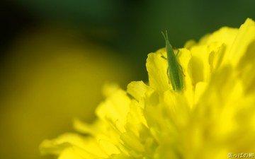 макро, насекомые, одуванчик, кузнечик