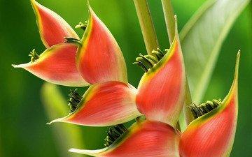 цветок, растение, геликония