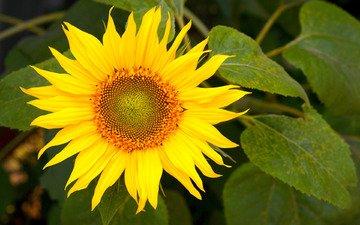 желтый, цветок, подсолнух