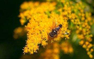 цветы, макро, насекомое, желтые, муха