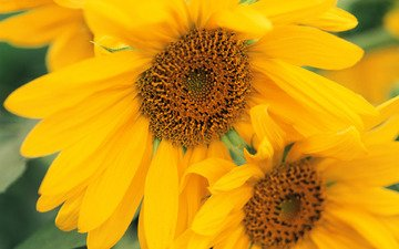 цветы, подсолнухи, желтые