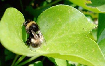 трава, лист, насекомые, шмель
