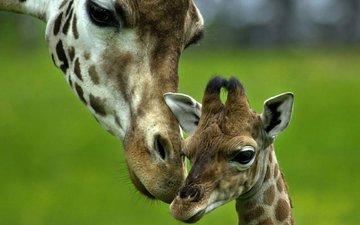 любовь, нежность, мама, забота, малыш, жираф, жирафы