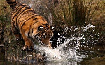 тигр, вода, брызги, лапа, охота