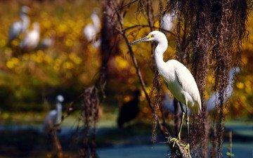 background, branches, birds, bird, heron, white egret