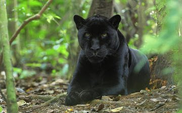 морда, кошка, пантера, черная, киска, кошачьи, джунгли