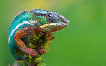 макро, разноцветный, ящерица, хамелеон, рептилия