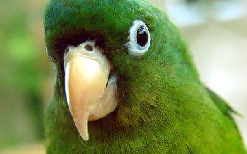 птица, попугай, крупным планом