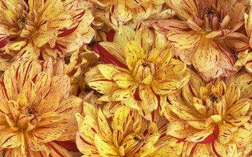 цветы, лепестки, георгины
