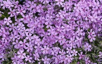 цветы, лепестки, сиреневые, флоксы, флокс