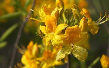 цветы, желтые, рододендрон