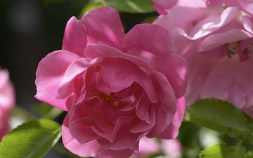 листья, цветок, роза, лепестки, бутон, розовые