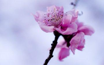 небо, ветка, цветок, весна, розовый, сакура