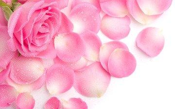 цветок, роса, капли, роза, лепестки, розовая