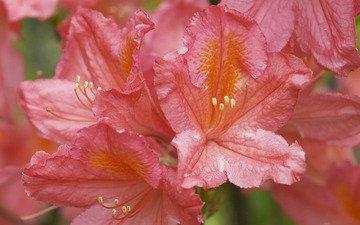 flowers, azalea, rhododendron