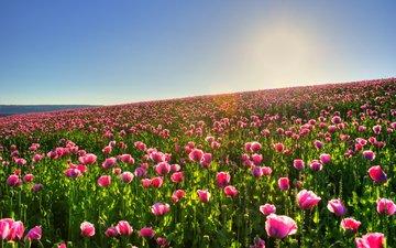 цветы, солнце, природа, обои, фото, поле, красивые картинки