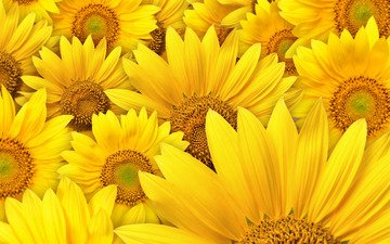 цветы, подсолнухи, макро фотографии