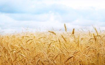 природа, обои, фото, поле, колосья, пшеница, колоски, урожай, картинки, колосок