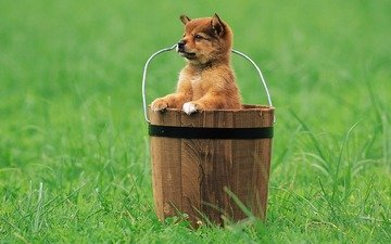 grass, look, puppy, bucket