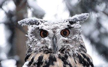глаза, сова, снег, зима, птица, клюв, перья, окрас, филин, оперение