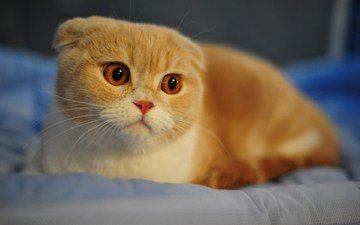 рыжий кот, шотландская вислоухая кошка