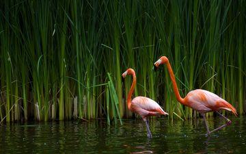 озеро, фламинго, птицы, калифорния, тростник