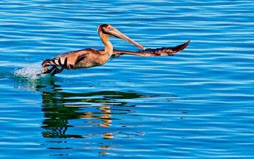 вода, отражение, полет, птица, пеликан