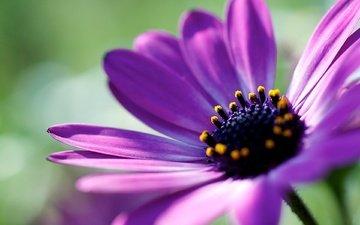 макро, фон, цветок, лепестки, растение, африканская ромашка