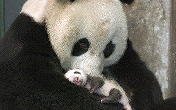 панда, забота, детеныш, бамбуковый медведь, большая панда