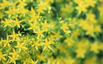 желтые, цветочки, зверобой
