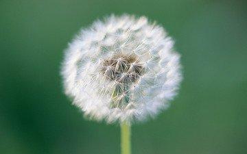 цветок, одуванчик, пушинки, былинки