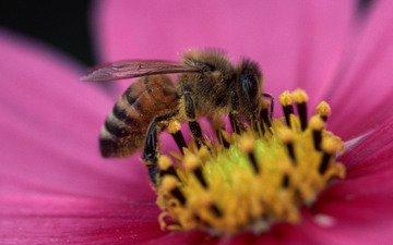 цветок, лепестки, насекомые, пчела, пыльца