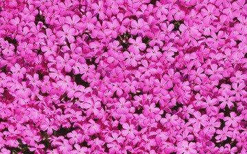 цветы, лепестки, розовые, флоксы