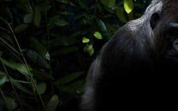 животные, черная, обезьяна, горилла